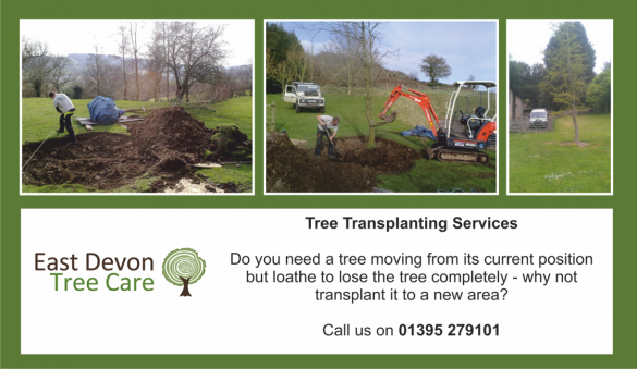 Tree Transplanting Services in Devon