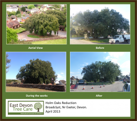 Holm Oaks Reduction